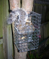 Tree Mountable Procull Humane Dispatch Squirrel Trap